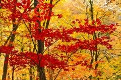 Herbstahorn. Lizenzfreie Stockfotos