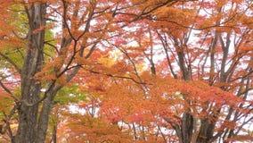 Herbstahornbäume stock video footage