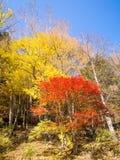 Herbstahornbaum im Wald Stockbilder