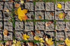 Herbstahornblätter auf den Pflastersteinen Stockfotos