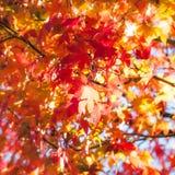 Herbstahornblätter an der goldenen Stunde bei Fugikawaguchiko, Japan lizenzfreies stockbild