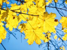 Herbstahornblätter gegen Hintergrund des blauen Himmels Stockfotografie