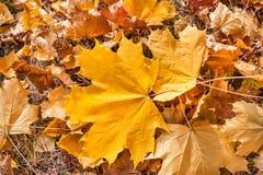 Herbstahornblätter im Wald Lizenzfreie Stockfotos