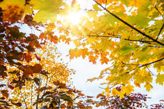 Herbstahornblätter im Wald Stockfotografie