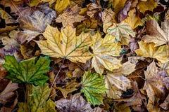Herbstahornblätter von verschiedenen Farben Lizenzfreie Stockfotos