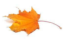 Herbstahornblatt Lizenzfreies Stockbild