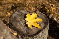Herbstahornblatt, das auf einem Baumstumpf liegt Herbst im Park Lizenzfreies Stockfoto