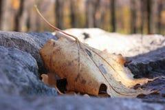 Herbstahornblatt, das auf einem Stein liegt lizenzfreie stockfotografie