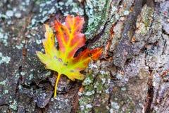Herbstahornblatt gegen Baumrinde, Weichzeichnung, flache Schärfentiefe Lizenzfreies Stockfoto