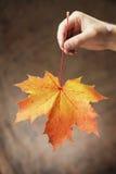 Herbstahornholz Lizenzfreie Stockfotos