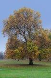 Herbstahornholz Lizenzfreies Stockfoto