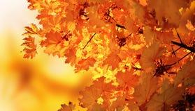 Herbstahornholz Lizenzfreie Stockfotografie