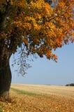 Herbstahornholzbaum Lizenzfreie Stockfotos
