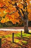 Herbstahornholzbaum nahe Straße Stockfotografie