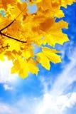 Herbstahornholzlaub Lizenzfreies Stockbild