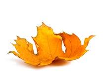 Herbstahornniederlassung mit den Blättern lokalisiert Lizenzfreie Stockfotos