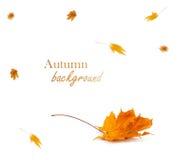 Herbstahornniederlassung mit den Blättern lokalisiert auf Hintergrund Stockfotos