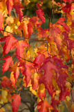 Herbstahornrot Lizenzfreies Stockfoto