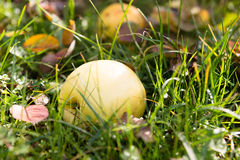 Herbstapfel gefallen in das Gras Stockbild