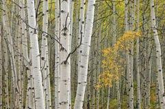 Herbstaspen-Wald Stockfoto