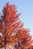 Herbstbäume, blauer Himmel Stockbild