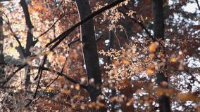 Herbstbäume, Gelb und Blattfallen stock video footage