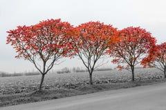 Herbstbüsche mit schönem rotem Rot verlässt in einem nebeligen Schwarzweiss-Land Stockfotografie