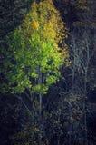 Herbstbaum auf einem schwarzen Hintergrund Stockfoto