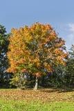Herbstbaum, der Blätter verschüttet lizenzfreie stockfotos