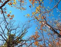 HerbstBaum- des Waldesmuster Den blauen Himmel oben schauen Backgroun Stockfotos