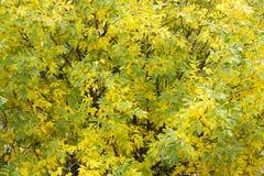 Herbstbaum-Detailhintergrund Lizenzfreie Stockfotografie