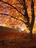 Herbstbaum in Flammen mit Abendfarbe Lizenzfreie Stockfotografie