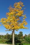 Herbstbaum-Gelbblätter Lizenzfreie Stockfotos