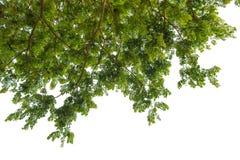 Herbstbaum im Wald gesehen vom Boden oben lokalisiert auf Weiß Lizenzfreie Stockbilder