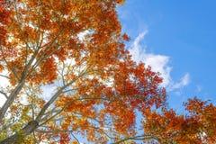 Herbstbaum im Wald oben gesehen vom Boden Stockfotografie