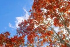 Herbstbaum im Wald oben gesehen vom Boden Lizenzfreies Stockbild