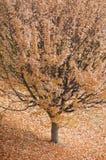 Herbstbaum mit Blättern überall Stockfotografie