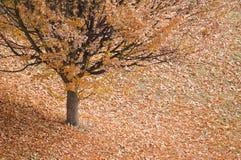 Herbstbaum mit Blättern herum Stockfotografie