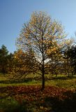 Herbstbaum mit den gefallenen gelben Blättern, die im Park auf einem blauen Himmel wachsen stockbilder