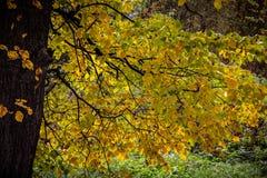Herbstbaum mit gelben Blättern Stockbilder