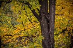 Herbstbaum mit gelben Blättern Lizenzfreie Stockfotos