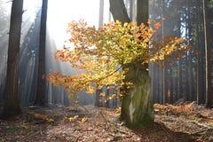 Herbstbaum mit Sonnenlicht Stockbild