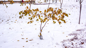 Herbstbaum mit trockenen Toten verlässt auf itRed Blättern im Schnee Stockbild