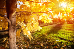 Herbstbaum am Sonnenuntergang Lizenzfreie Stockfotos