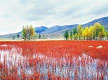 Herbstbaum und rotes Gras Stockbilder