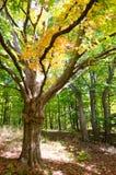 Herbstbaumblätter, die Farbe ändern Lizenzfreies Stockbild