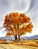 Herbstbaumzentrale Kalifornien Stockfotos