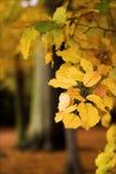 Herbstbaumzweig Lizenzfreies Stockfoto
