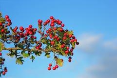 Herbstbeeren Lizenzfreies Stockfoto