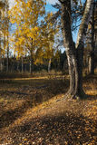 Herbstbirke Stockfotos